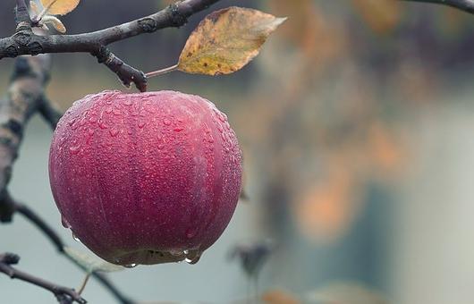 Apples as a prebiotic